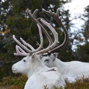 Reindeers resting in the forest