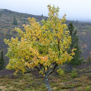 Birches in the beginning of autumn